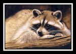 Racoon by photospider