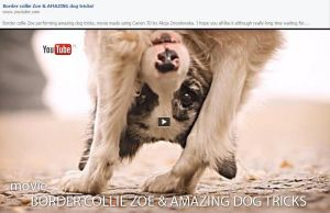 YOUTUBE! Border collie Zoe and AMAZING Dog tricks by feanutri