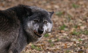 TimberWolf.:.Keep Smile by WhiteSpiritWolf