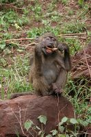 Young olive baboon by ScurvySimon