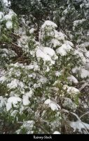 Snowy Tree- STOCK by Rainny-Stock