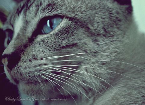 Blue Eyes and Whiskers by BabyLonetheGreaT