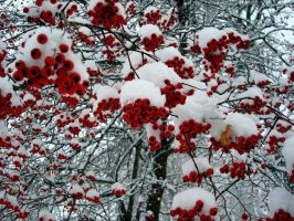 Snow berries by Sally599