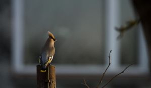 waxwing session 1 by mv79