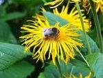 Busy bumble bee by Mooninawdewdrop