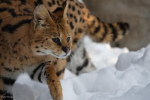 Serval in the snow by Tygrik