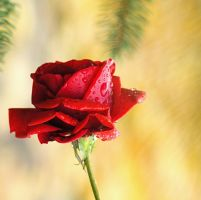 ...another rose by PancolartJorge