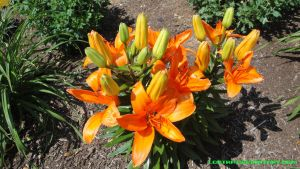 Orange Lily by Lootra