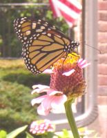 Monarch on Zinnia by Daniel-Storm