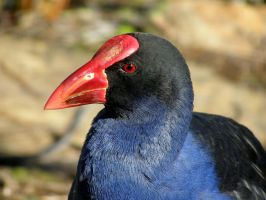 Purple Swamphen by SirTimid