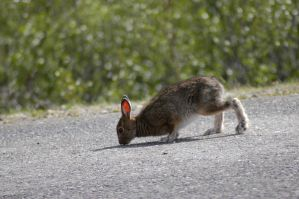 The Rabbit Crossing the Road by MogieG123
