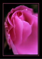 Rose Bud Macro by RavenPhotography
