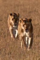 African Lion 44 by catman-suha