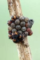 shieldbug nymphs by zgrkrmblr