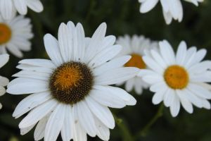 White Daisies by Maeve09