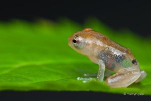 Transulcent frog 2 by melvynyeo