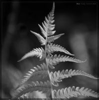 Fern by yiria