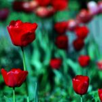 three tulips by augenweide