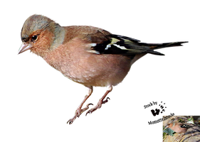 Cut-out stock PNG 109 - friendly chaffinch by Momotte2stocks