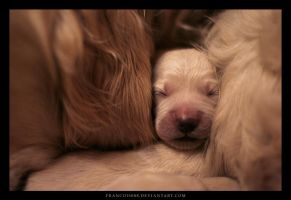 Golden Puppy 3 by Francois088