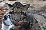 Clouded Leopard 0258 by robbobert
