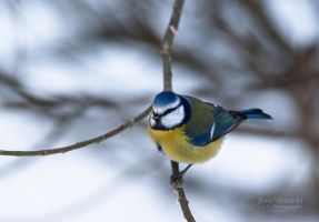 Blue Tit II by Nitrok