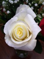 white rose 2 by turtledove-stock