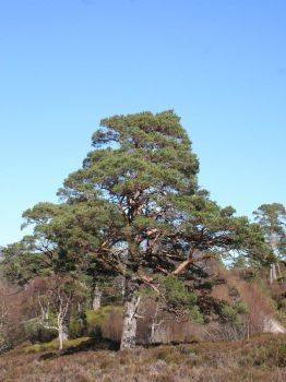 champion pine by pirouel