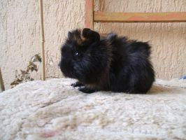 My new guinea pig by Trufla