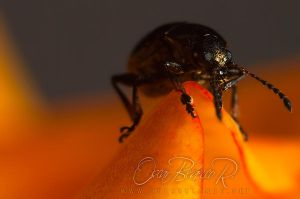 Stowaway on a rose petal by otas32