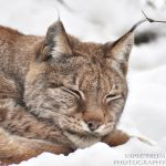 Eurasian Lynx Winter 2010 by cinnabarr