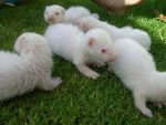 Ferret Babies on the Grass 6 by arlee