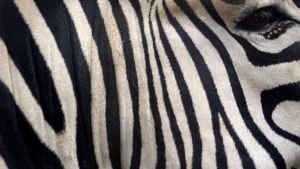 Zebra Widescreen by MichelLalonde
