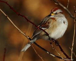 Cold morning Sparrow by natureguy