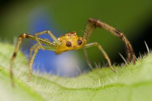 Cute Crab Spider 2 by Alliec