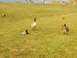 Geese 1 by Inskaia