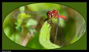 Dragonfly by CecilyAndreuArtwork