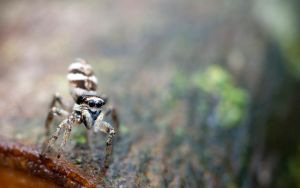 Zebra Spider by seriousmadness