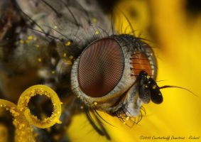 Flower fly by RichardConstantinoff