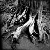 Strong Roots by GeneAut