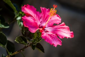 Hibiscus by 904PhotoPhactory