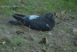 Pigeon 1 by Panopticon-Stock