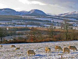 Conon valley sheep by piglet365
