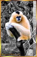 Yellow Cheeked Gibbon by MorganaMagorian