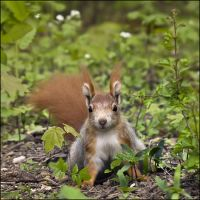 red squirrel by XSini