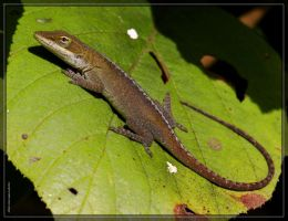 Green Anole 40D0026527 by Cristian-M