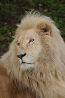 White Lion. by DPasschier