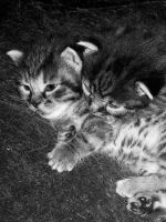 Kittens by Bodvill