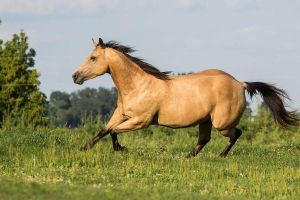 Quarter Horse stock 5 - buckskin by Skunktail17