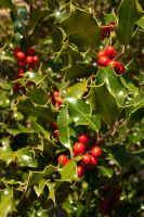Holly in the sun by steppelandstock